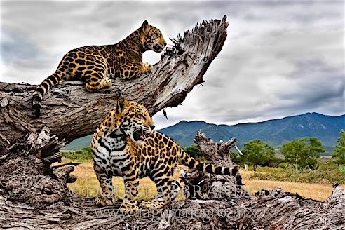 Especies Jaguar