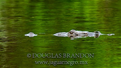 Fauna - cocodrilo moreletii